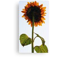 Sunflower - Facing a Grey Morning Sky Canvas Print