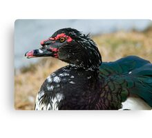Mr. Muscovy Canvas Print