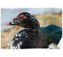 Mr. Muscovy Poster