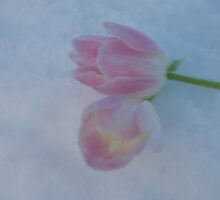Frozen tulips by julie08