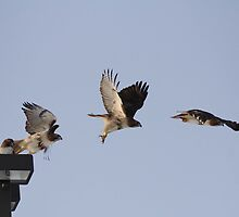 Flight In Motion - Redtail Hawk by KatsEye