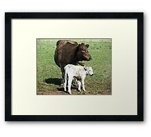 Mother & son  (3 hrs. old)- Murray Grey Cattle Framed Print