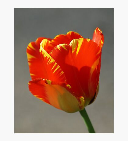 Flaming Tulip! Photographic Print