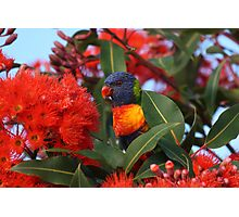 Rainbow Lorikeet Photographic Print