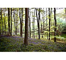 Bluebell Woods Photographic Print
