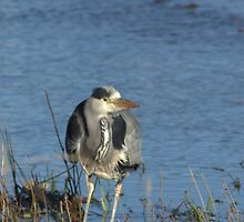 Bored Heron by Rob Outram