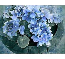 Hydrangea in Blue Photographic Print