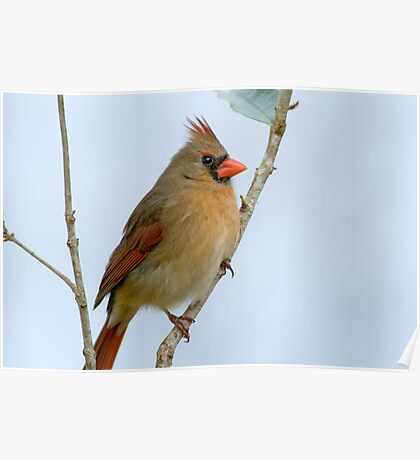 Mrs. Northern Cardinal Poster