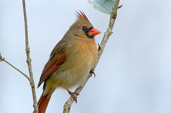 Mrs. Northern Cardinal by Bonnie T.  Barry