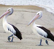 Pelicans by BevB