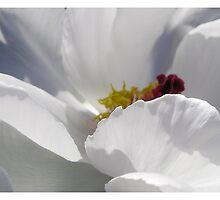 White Tree Peony by Arrina