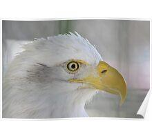 Fontana Eagle Portrait 3 Poster
