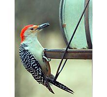 Zebra Backed Woodpecker Photographic Print
