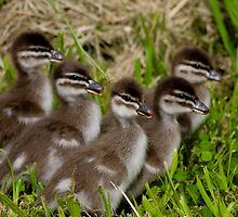 Wood Duck Ducklings by PPV247