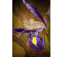 Iridaceae Photographic Print
