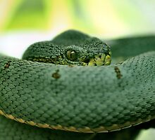 Two-Line Pit Viper by Dennis Stewart