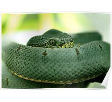 Two-Line Pit Viper Poster