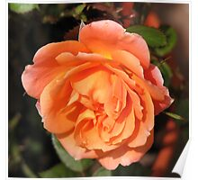 Orange Wildfire - Miniature Rose Poster