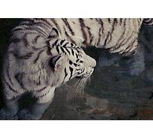 White Bengal Tiger Photographic Print