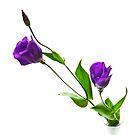 Lisianthus II by prbimages
