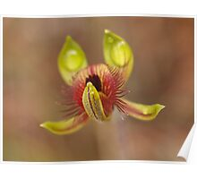 Caladenia discoidea – Dancing Spider Orchid (2) Poster