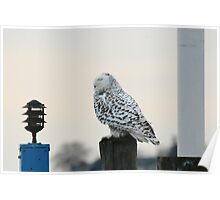 Snowy Owl at the Beach Poster