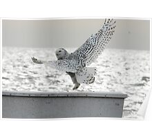 Snowy Owl Dancing at the Beach Poster