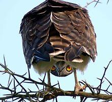 Ndutu owl by Sarah  Norton