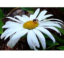 Daisy and the bee...... Photographic Print