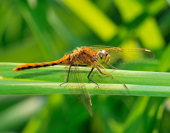 Dragonfly Orange on Green  by Geoffrey
