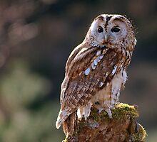 Tawny Owl by nigel snell