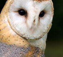 Barn Owl by nigel snell