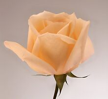 Salmon Rose by Roger Otto