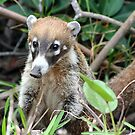 Cute Little Coati by Teresa Zieba