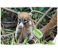 Cute Little Coati Poster