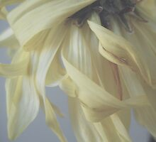 Soft Petals of Yellow by lindsycarranza