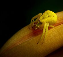 goldenrod crab spider by J.K. York