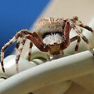 Orb Spider by Michelle *