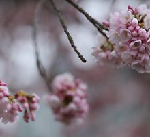 Faded Cherry Blossoms by Nelisak