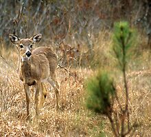 Sika Deer, Assateague National Seashore, MD by mklue