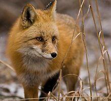 Snow Flake Fox by Jay Ryser