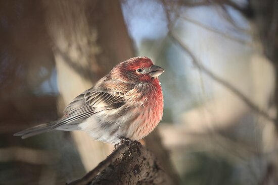 Male House Finch - Carpodacus Mexicanus by Renee Dawson