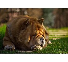 Spring sunbathing - Chow-Chow Photographic Print