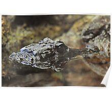 Dwarf Crocodile Poster
