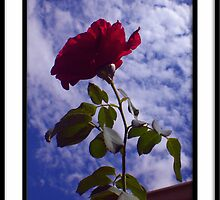 My Rose by kimbeaux1969