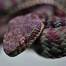 Snake (Viper) by Dennis Stewart