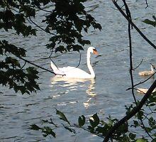 Spy Pond Swans 3 by Judi FitzPatrick