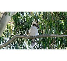 Kookaburra sits in an a old gum tree - so fluffy Photographic Print