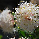 Slender Rice Flower.  Pimelea linifolia.  Mt Buffalo by Lozzar Flowers & Art