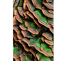 mushrooms (Trichaptum biforme) Photographic Print